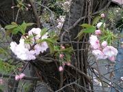higashinakanosakura2.jpg