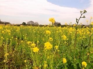 菜の花を見に出かけませんか? 春本番を迎える「馬入・光と風の花づつみ」