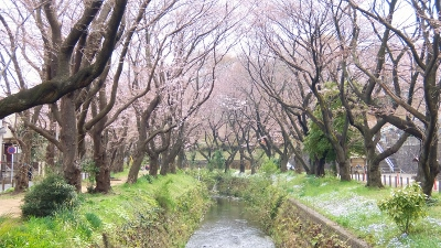 桜ヶ丘から高座渋谷までウォーキング&引地川の千本桜を訪ねて