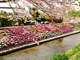 ぽかぽか陽気の今、伊勢原渋田川沿いの芝桜を見に行きませんか?