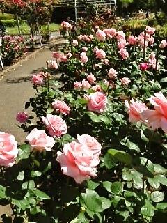 市民のオアシス「平塚総合公園」のバラを観賞しに出かけませんか?