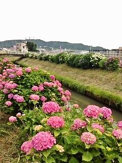 河内川の両側に広がる見事な紫陽花で、梅雨時の散歩を楽しみましょう!!