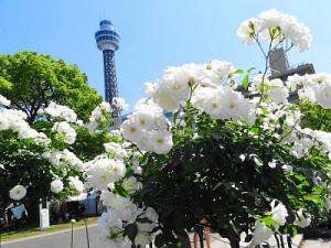 白いバラとマリンタワー