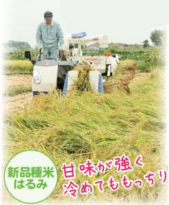 市川さんが所有する田んぼでも2015年から「はるみ」の作付けを開始。年々、作付け面積を増やし、今年は160aある全面に拡大