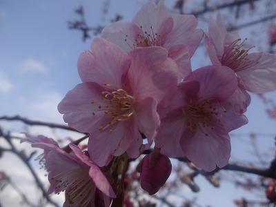 今が満開見頃!伊豆の河津桜を見にいこう