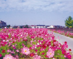 風にそよぐコスモスが5kmにわたり咲き誇る コスモスふれあいロード