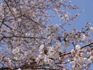 おひとり様のお花見はお気に入りの八幡公園で♪