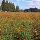 近場の公園で秋を感じる!2.2haのコスモス畑@あけぼの山農業公園(柏市)