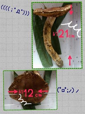 Big松茸の大きさ