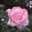 バラの種類は70種類!1700株のバラが咲き誇る☆(@柏の葉公園バラ園)