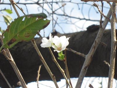 季節はずれの桜を見に行こう!!(平成25年10月14日情報)