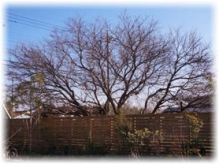 テラスの対面に見える花桃の大木