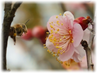 清水公園では梅の花も見頃