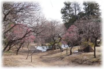 第1公園広場にある梅園には公園全体の半数程度が植栽されています