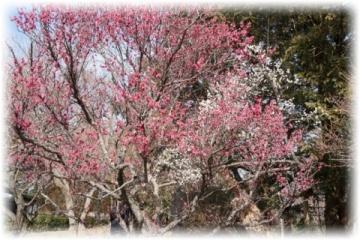 古木が多く「冬至」を中心に「八重寒紅」「八重野梅」などを観賞することができます
