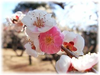一つの木に白と紅の花をつける「輪違い」
