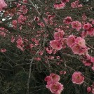 松戸 戸定が丘歴史公園でほころび始めた梅を愛でる