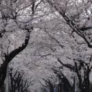 春が待ち遠しい今日この頃☆今年の桜はどこで見ますか?