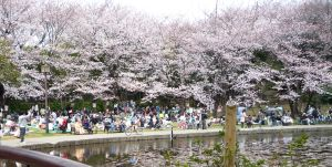 桜_せせらぎ公園