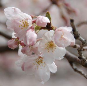 桜_アップ