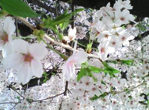 柏の意外なお花見スポット!カタクリの花って知ってますか?