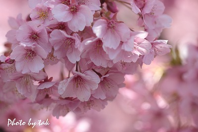 春を先取り・河津桜 三浦海岸にて