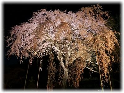 夢見草に誘われて花明りの清水公園「さくらまつり」へ