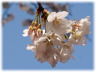 境内の桜アップ