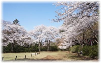 お寺の前にある広場の桜
