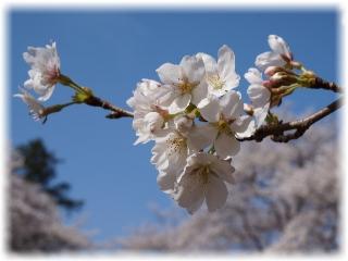広場の桜アップ