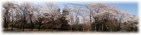 第1公園広場の桜を180度パノラマ撮影