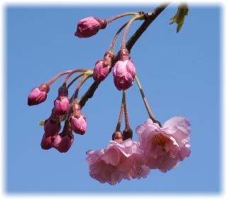 八重桜は蕾が目立ちます
