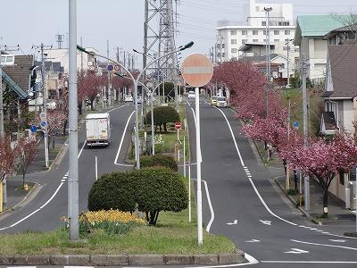 小金原の八重桜も圧巻です!