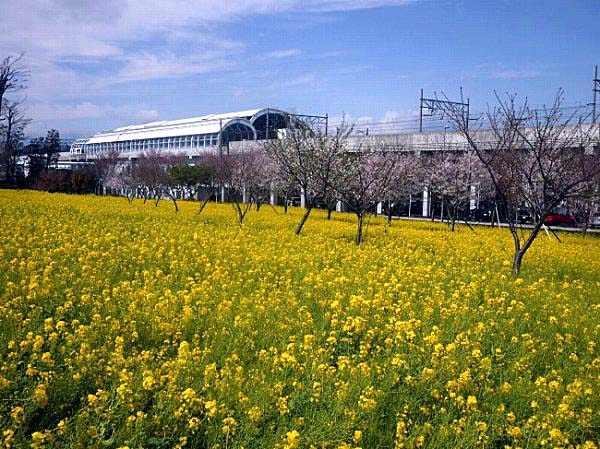 川和町駅菜の花