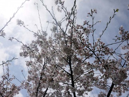 川和町菜の花