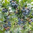 イギリスのカントリーサイドのような農園でブルーベリーが摘めちゃう!