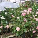美しいバラを咲かせましょう~あざみ野ローズクラブ~