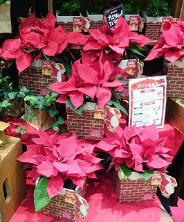 生産量全国2位! 埼玉が誇る「クリスマス・フラワー」ポインセチア