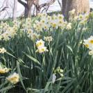 約50万本を超える水仙が咲く。2/8(日)まで「第6回幸手水仙まつり」
