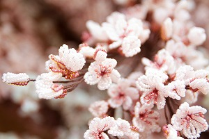ビーズフラワーで作った「復興を祈る希望の桜」展示中