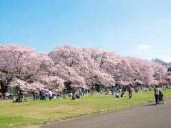 むさしのエリアに桜咲く!中央線周辺 お花見特集♪