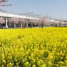 春爛漫! 桜と菜の花が見ごろです!