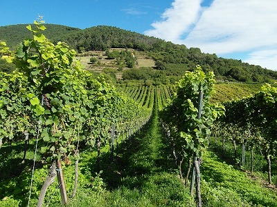vineyards-259860_640
