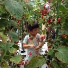 トマト嫌いでも食べれる★地元さがみのトマト農園でトマト狩りしてきました。