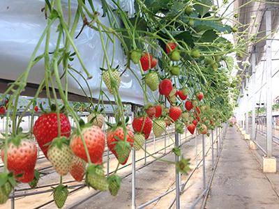 千葉市でイチゴ狩り!レジャーに便利な「中村農園」