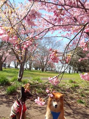 桜の枝越しに撮影すると立体感が出るフォトになるのでオススメです