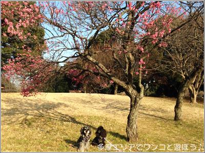 昭和記念公園の梅