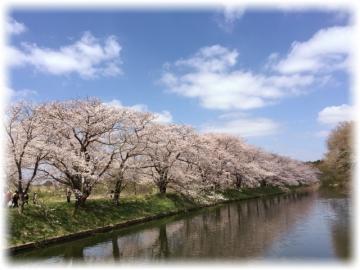 映画のロケ地になった桜の名所「福岡堰」桜のトンネルを散歩で花見満喫♪