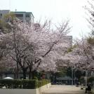 桜スポット★大阪市内中心にあって超穴場!「滝川公園」