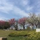 桜開花情報★早咲きのヒガンザクラが見事!「扇町公園」